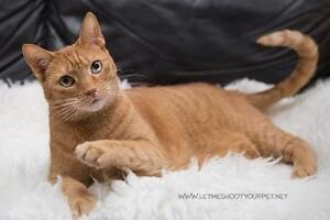 "Adult Female Cat - Domestic Short Hair-orange: ""Ariel"""