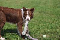 "Young Male Dog - Border Collie: ""Samy"""