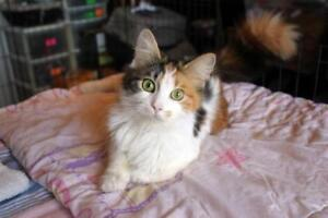 Young Female  - Domestic Medium Hair (Orange & White)