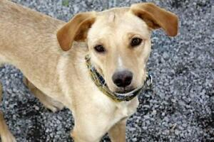 "Young Male Dog - Retriever: ""Bolo"""
