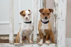 """Adult Female Dog - Chihuahua: """"Cookie and Olive"""""""