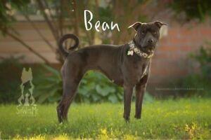 "Young Female Dog - Shar Pei-Pit Bull Terrier: ""Bean"""