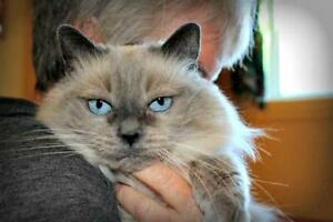 "Senior Female Cat - Balinese: ""Cloud Hunt"" Strathcona County Edmonton Area image 3"