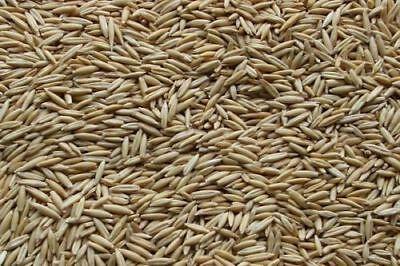 OAT Seed 5 LB- Cat Grass Oatgrass Dog Chicken Rabbit Chinchilla Pets// Non-GMO