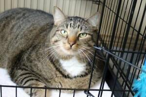 """Adult Male Cat - Domestic Short Hair: """"Tiger"""""""
