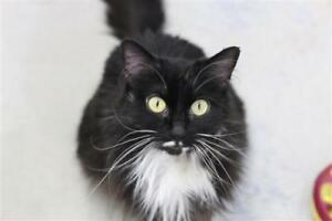 "Adult Female Cat - Domestic Long Hair: ""Athena"""