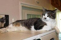 "Adult Male Cat - Domestic Short Hair: ""Roonie"""