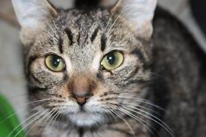 """Young Female Cat - Tabby - Brown: """"Mercedes"""""""