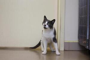 """Adult Male Cat - Domestic Short Hair - gray and white: """"Walter"""""""