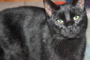 """Young Male Cat - Domestic Short Hair: """"Cricket"""""""