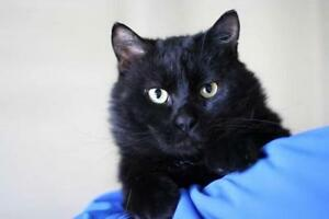 "Adult Male Cat - Domestic Short Hair (Black): ""Mister"""