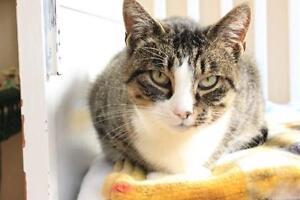 "Adult Female Cat - Tabby-Domestic Short Hair: ""Tilly"""