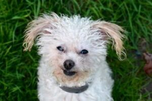 Adult Male  - Poodle-Chihuahua