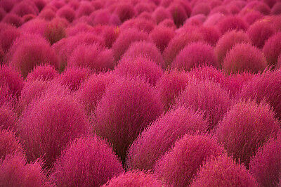 ~RARE~Summer Cypress Burning Grass (Kochia Scoparia) 20,35,50 ...