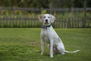 "Young Male Dog - Pointer-Coonhound: ""Cameron"""