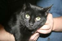 "Young Female Cat - Domestic Short Hair-black: ""Letty"""
