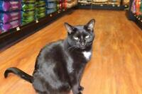 """Young Male Cat - Domestic Short Hair-black: """"Allan"""""""