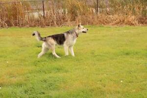 """Young Male Dog - Shepherd-Husky: """"Apollo"""""""