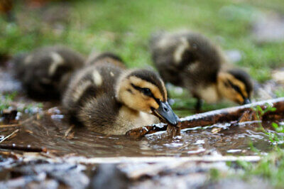 12 Rouen Duck Hatching Eggs - Free Range