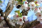 Cherry Tree Cherry Flowering Trees