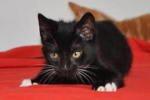 """Baby Male Cat - Domestic Short Hair (Black & White): """"Mitch"""""""