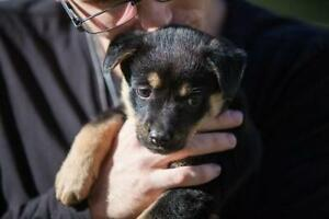 "Baby Female Dog - Shepherd: ""Padma Trekkie"""