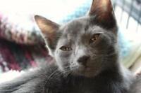"Baby Male Cat - Siamese: ""Bubaloo"""