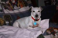 "Adult Female Dog - Jack Russell Terrier: ""Babs"""