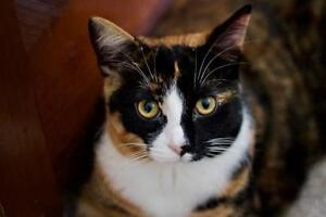 Young Female  - Calico-Domestic Short Hair-black