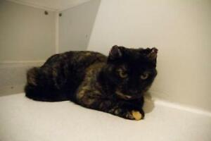 "Adult Female Cat - Domestic Short Hair: ""Elantra"""