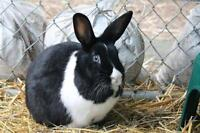 "Young Female Rabbit - Bunny Rabbit: ""Cher"""
