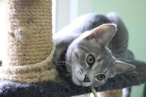 "Baby Male Cat - Domestic Short Hair-gray: ""Buddy"""