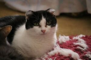 "Senior Female Cat - Domestic Short Hair: ""Friday"""