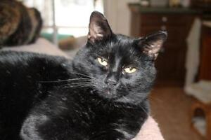 """Adult Male Cat - Domestic Short Hair: """"Charlie"""""""
