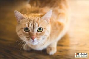 "Adult Male Cat - Domestic Short Hair: ""George"""