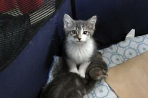 "Baby Male Cat - Domestic Short Hair-Tabby: ""Fang"""