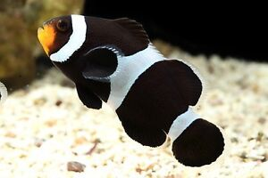 Black and white clownfish (Ocellaris clown fish) 4cm Gawler East Gawler Area Preview