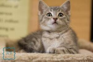 "Baby Male Cat - Domestic Short Hair-Tabby: ""Abercrombie"""