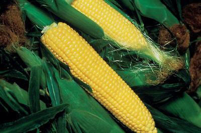 Sweet Corn Seed: Kandy Korn Sweet Corn Seed Fresh Seed  FREE Shipping - Kandy Korn