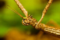 Insecte: Phasmes / Phasmatodea (stick insect)