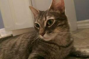 "Adult Female Cat - Domestic Short Hair: ""Ima"""
