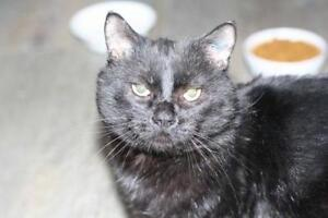 "Adult Male Cat - Domestic Short Hair-black: ""Mister"""