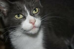 """Adult Female Cat - Domestic Short Hair (Gray & White): """"Penny"""""""