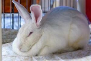 "Young Female Rabbit - American: ""Mary Hoppins"""