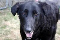 "Senior Female Dog - Retriever: ""Giovanna"""