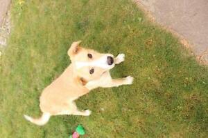 """Young Male Dog - Labrador Retriever-Collie: """"Bronson"""""""