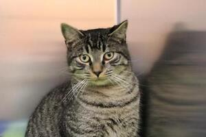 """Adult Male Cat - Domestic Short Hair: """"Abner"""""""