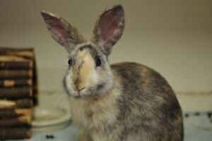 "Young Male Rabbit - American: ""Braveheart"""