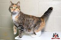 "Adult Female Cat - Domestic Short Hair: ""Mélodie"""