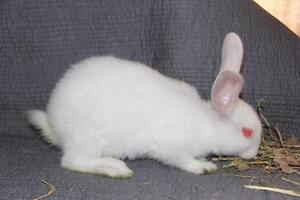 """Young Male Rabbit - New Zealand: """"9b"""""""